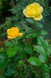 Twee gele rozen Royalty-vrije Stock Foto's