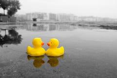 Twee gele rubbereenden in het water stock afbeeldingen