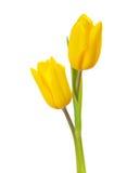 Twee gele tulpen Royalty-vrije Stock Afbeeldingen