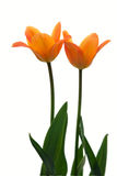 Twee gele tulpen. Stock Afbeeldingen