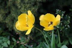 Twee gele tulpen die van de zon genieten stock afbeelding