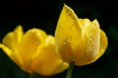 Twee gele tulpen met waterdaling Royalty-vrije Stock Foto's