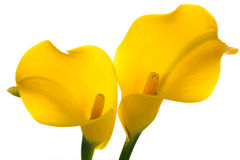 Twee gele Vraaglelies royalty-vrije stock afbeelding