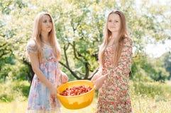 Twee gelukkige jonge vrouwenvrienden die op landbouwbedrijf aardbei verzamelen royalty-vrije stock foto's