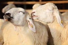 Twee Gelukkige Schapen die in het Landbouwbedrijf glimlachen Royalty-vrije Stock Afbeelding