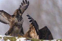 Twee gemeenschappelijke buteovogels van buizerdbuteo met uitgespreide vleugels die op sneeuw in de winter op zonnige dag vechten Stock Foto