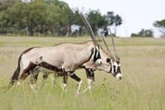 Twee Gemsbok die (Oryx) door weide lopen Stock Afbeeldingen