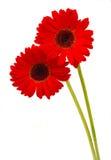 Twee gerberabloemen Royalty-vrije Stock Afbeelding