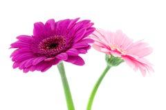 Twee gerberabloemen Royalty-vrije Stock Afbeeldingen