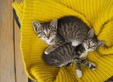 Twee gestreepte katjes zijn verpakt in een gele gebreide sjaal Verbindingenspel stock afbeeldingen