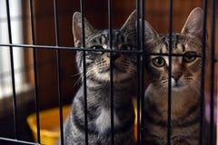Twee gestreepte katten in een kooi Stock Fotografie
