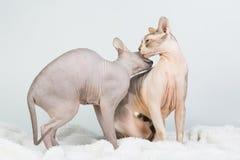 Twee gewaagde sfinxkatten die en wassen likken op witte achtergrond Stock Foto