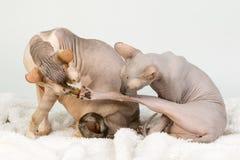 Twee gewaagde sfinxkatten die en wassen likken op witte achtergrond Stock Fotografie