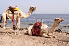 Twee gezadelde kamelen Royalty-vrije Stock Afbeelding