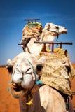 Twee gezadelde kamelen in de woestijn Royalty-vrije Stock Afbeeldingen