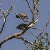 Twee gieren Stock Afbeelding