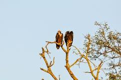 Twee Gieren in treeRolo royalty-vrije stock afbeeldingen