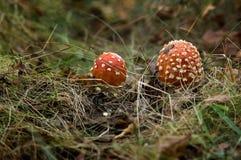 Twee giftige paddestoelen in het bos Stock Foto
