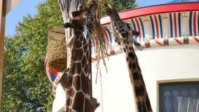 Twee giraf het eten stock videobeelden
