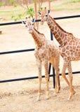 Twee giraffen stock foto's