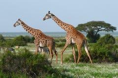 Twee giraffen in Afrikaanse savanne Royalty-vrije Stock Foto's