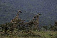 Twee Giraffen bij Ngorongoro-Krater Stock Foto