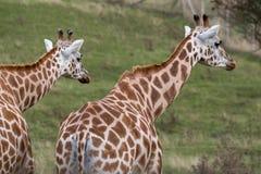 Twee giraffen die in dezelfde die richting bekijken, in Haven Lympne Safari Park wordt gefotografeerd in Ashford, Kent, het UK stock foto