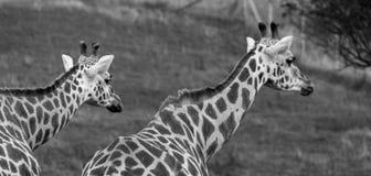 Twee giraffen die in dezelfde die richting bekijken, in Haven Lympne Safari Park wordt gefotografeerd in Ashford, Kent, het UK royalty-vrije stock foto's