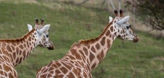 Twee giraffen die in dezelfde die richting bekijken, in Haven Lympne Safari Park wordt gefotografeerd in Ashford, Kent, het UK stock fotografie