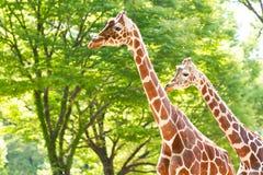 Twee giraffen in een park Royalty-vrije Stock Fotografie