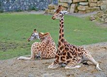 Twee Giraffen het Ontspannen stock foto's