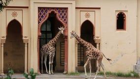 Twee giraffen met een netvormig patroon stock footage
