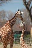Twee giraffen op een zonnige dag bij de dierentuin stock foto's