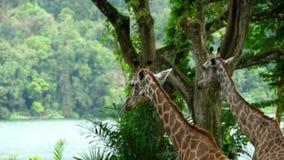 Twee Giraffen in savanne stock videobeelden