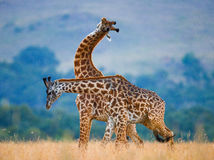 Twee giraffen in savanne kenia tanzania 5 maart 2009 Royalty-vrije Stock Foto's