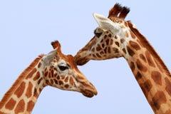 Twee girafhoofden royalty-vrije stock foto