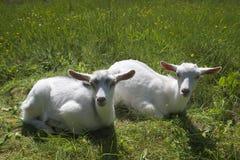 Twee goatlings die in het gras liggen Stock Afbeeldingen
