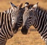 Twee goede vrienden: Gemeenschappelijke Zebra stock fotografie