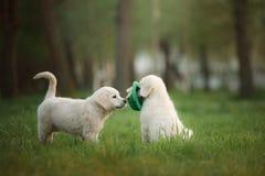 Twee Golden retriever puppys looppas op gras en spel Royalty-vrije Stock Foto's