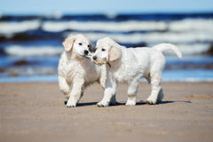 Twee golden retrieverpuppy op een strand Stock Foto