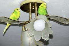 Twee golvende papegaaien zitten op de kroonluchter stock foto's