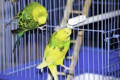 twee golvende papegaaien zitten op een kooi stock afbeeldingen