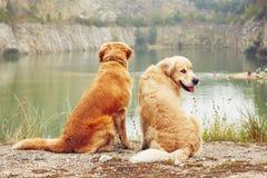 Twee Gouden Honden van de Retriever Royalty-vrije Stock Afbeeldingen