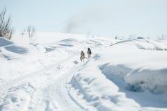 Twee Grappig Gelukkig Siberisch Husky Dogs Running Together Outdoor in Sneeuwpark in Sunny Winter Day Glimlachende hond Actief Ho royalty-vrije stock afbeelding