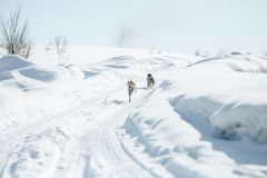 Twee Grappig Gelukkig Siberisch Husky Dogs Running Together Outdoor in Sneeuwpark in Sunny Winter Day Glimlachende hond Actief Ho stock afbeeldingen
