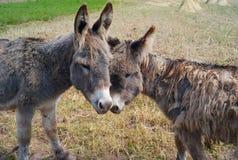 Twee Grappige en Leuke grijs-Bruine Ezels royalty-vrije stock fotografie