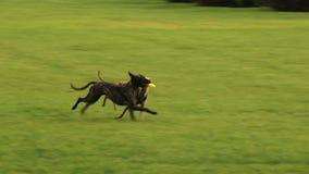 Twee grappige honden dragen brengen terug één stuk speelgoed aan de mens stock videobeelden