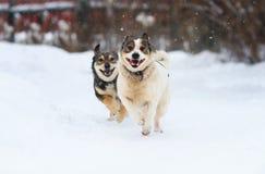 Twee grappige honden lopen gelukkig over de witte sneeuw Royalty-vrije Stock Fotografie
