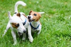Twee grappige huisdierenhonden die op groen gras spelen stock foto