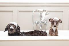 Twee grappige natte honden in badkuip Stock Afbeeldingen